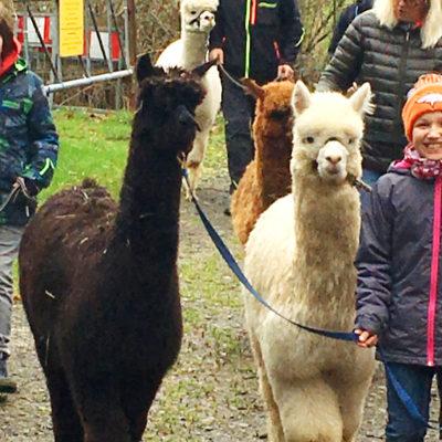 Die Welt der Alpakas – Ein tierisches Vergnügen